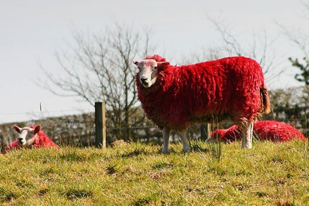 red-sheep