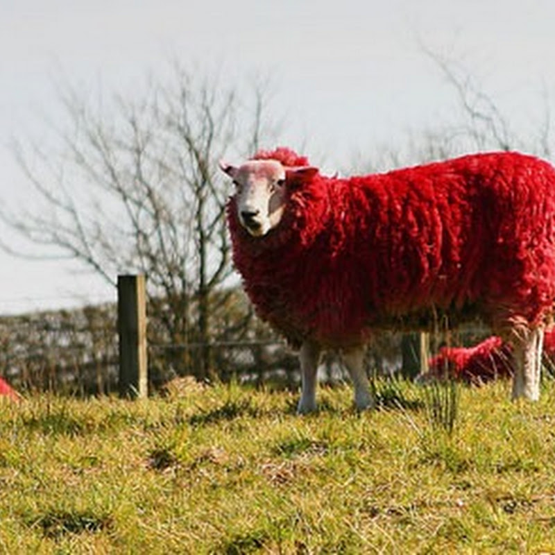 The red sheep of Scotland