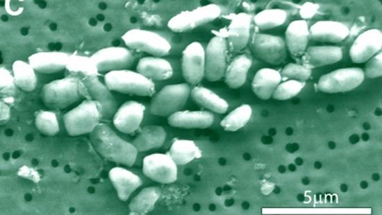 arsenic-bacteria