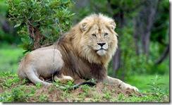 rsawal-Lion_Punda_Maria