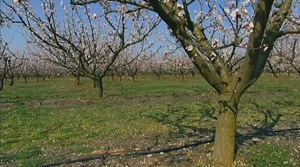 Orchard in Blosson