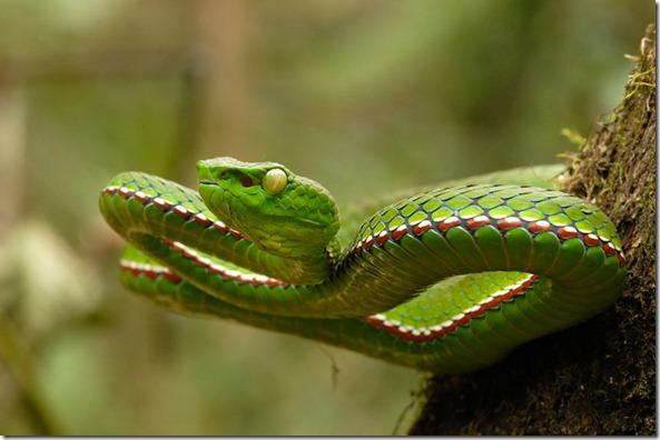 Medo's Pit Viper