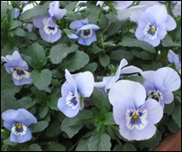 may6bluepansies