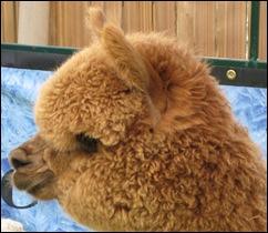 Alpaca face 2
