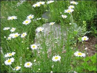 june-wild-daisies