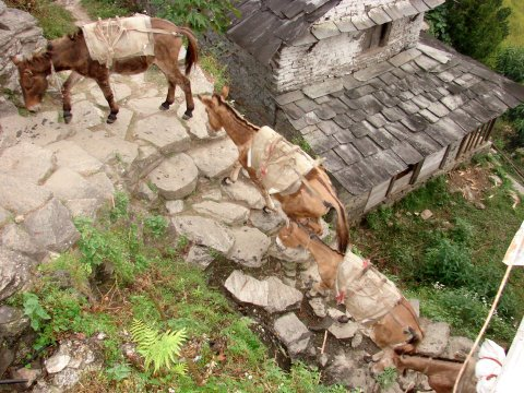 Ghandruk Ghandrung Donkeys Carrying Goods