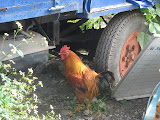 Chicken in the junkyard