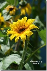 Sunflower for blog