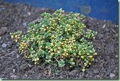 Thymus citriodorus 'Doone Valley'