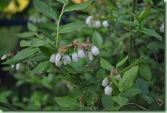 blåbärsblommor