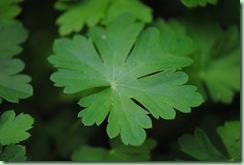Geranium cantabrigiense ´Biokovo´