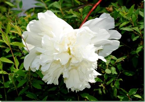 Paeonia lactiflora 'Charlies White'