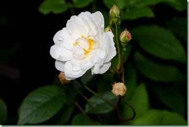 lite större vit ros i lunden