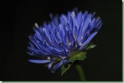 Jasione leavis ' Blaulicht'