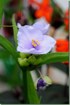blå blomstervandrer