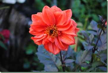 Dahlia x hortensis – David Howard