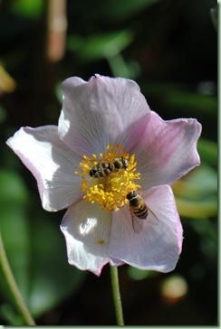Anemone tomentosa ' Robustissima'