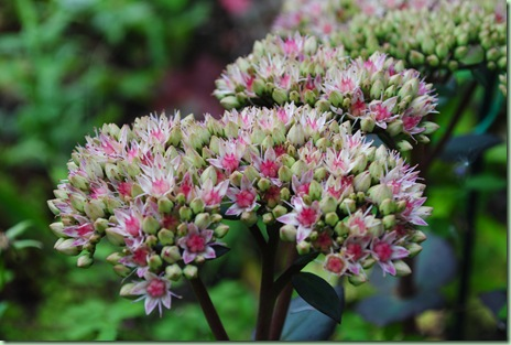 Sedum hybrid ' Matrona'