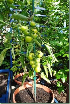 gula tomater