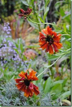 Helenium hybrid 'Moerheim Beauty'