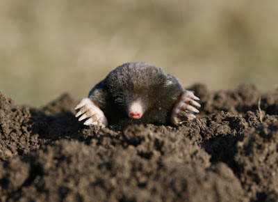 zwarte mol