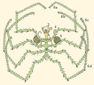zeespin (g.o sars, hertekend door l.f. garcía)
