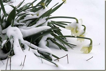 daffodils snow