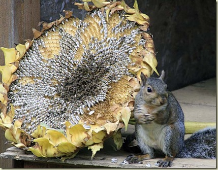 sunflower squirrel2