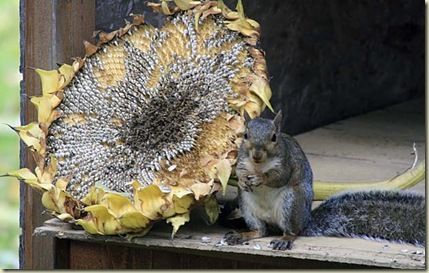 sunflower squirrel3