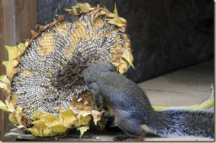 sunflower squirrel6