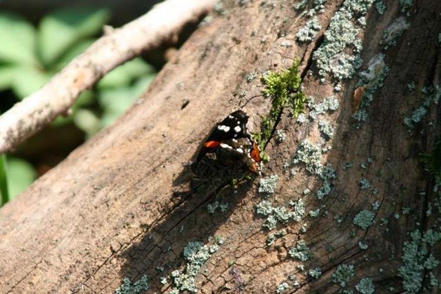 [ButterflyLogMoss[4].jpg]
