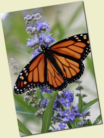Monarch5 resz