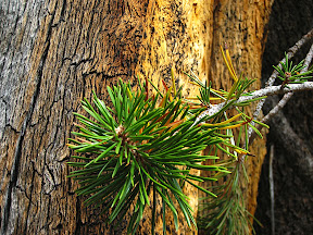 pine bough against dead tree
