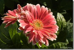 gerber-daisy-1