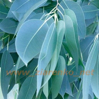 Mrozoodporny Niebieski Eukaliptus Eucaliptus Gunni