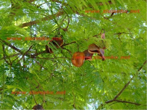 Drzewo   różane Jucaranda Mimosifolia