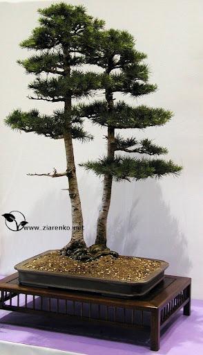 Cedr libański (Cedrus libanii)