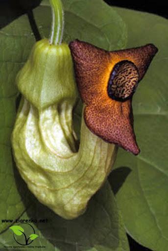Kokornak mandżurski (Aristolochia manshuriensis)