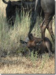wildie-calf