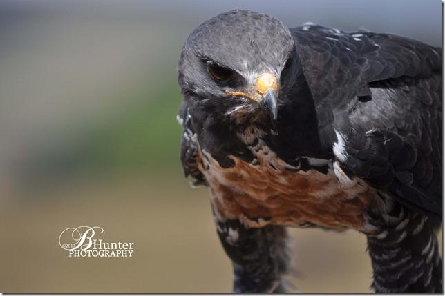 cr hawk