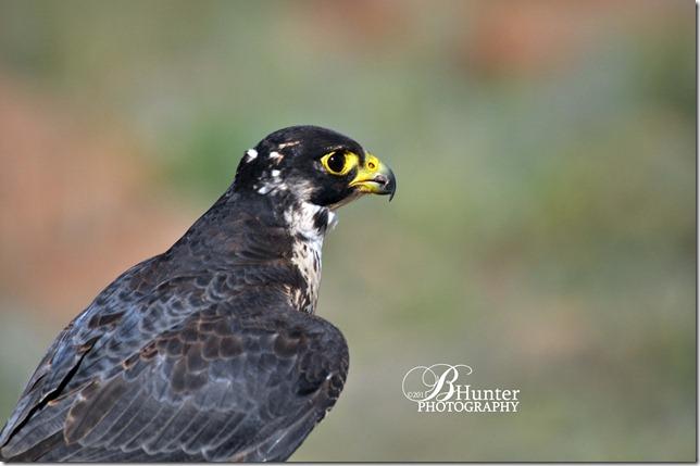 CR-Prgrn Falcon
