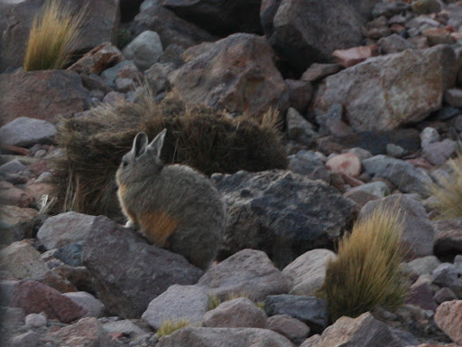 A viscacha!