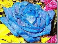 200px-Bluerose