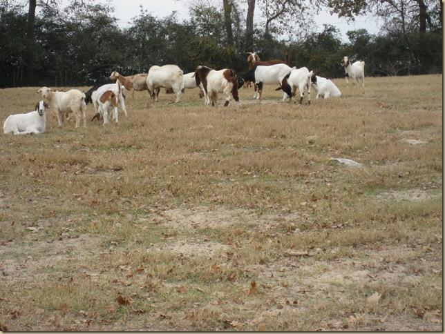 goats 011