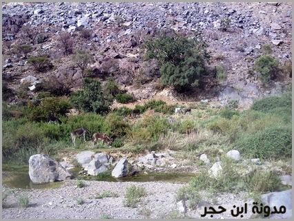 حمير داخل وادي الجنابين