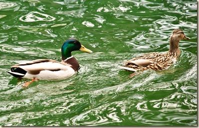 duck-chasing-duck-2