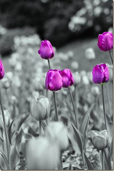 cluj-botanical-garden-tulips-1