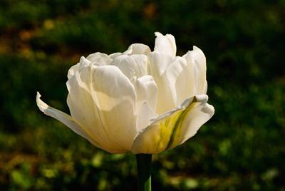 roses-white-2