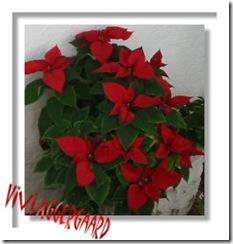 108-0878_IMG julestjerne tenerife