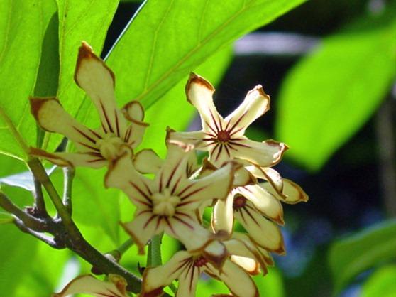 Cola_acuminata-árvore-coca-cola-wiki
